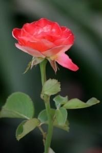 Роза прощения